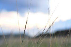 夏の雑草のメヒシバ