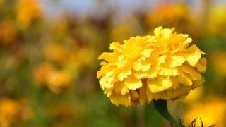 夏に咲くマリーゴールド