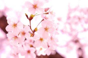 3月に咲く桜
