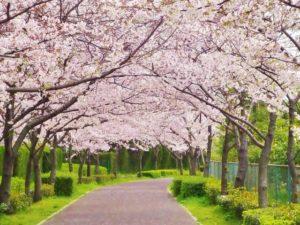 3月に咲く桜の並木道