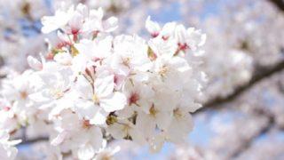 4月の満開の桜