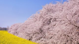 3月に咲く菜の花と桜